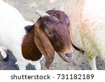 goat in farm thailand    Shutterstock . vector #731182189