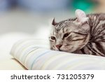 american curl cat cute little... | Shutterstock . vector #731205379
