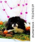 little dog  japanese chin on... | Shutterstock . vector #731243119