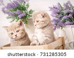 couple of scottish fold cat...   Shutterstock . vector #731285305