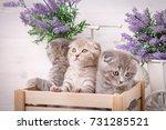 a triple of scottish kittens in ...   Shutterstock . vector #731285521