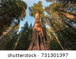 Giant Sequoias Forest. Sequoia National Park in California Sierra Nevada Mountains, United States. - stock photo