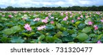 The Panorama Of Lotus Ponds In...