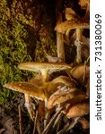 Small photo of Mushrooms armillaria mellea in the wood, autumn colors