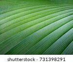 cigar flower plant  scientific... | Shutterstock . vector #731398291