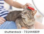 tabby cat lying in her owner's... | Shutterstock . vector #731444809