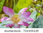 Lotus Bloom In The Middle Of...