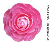 Camellia rose pink flower white ...
