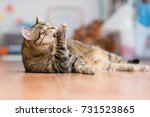 Stock photo gray adult cat lies on the floor and licks the paws 731523865