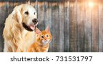 Stock photo cat and dog together maine coon kitten golden retriever look at right with sticking out tongue 731531797