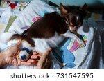Small photo of Dog birth,Newborn,Birthing ,Birthing puppies Chihuahua,Childbirth.