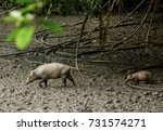 Flock Of Babirusa  Babyrousa...