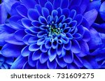 Stock photo blue flower background close up of blue flower aster with blue petals for background or texture 731609275
