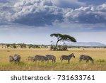zebras in serengeti national... | Shutterstock . vector #731633761