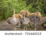 Small photo of Advance Guard/Three ostrich form the protecting guard for the resting rhinos.