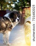 fluffy caucasian shepherd dog... | Shutterstock . vector #731682025