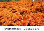 beautiful orange colored mums... | Shutterstock . vector #731698171