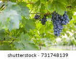 bunches of ripe grapes before... | Shutterstock . vector #731748139