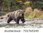 grizzly bear  ursus arctos   ... | Shutterstock . vector #731765245