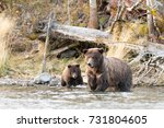 grizzly bear  ursus arctos   ... | Shutterstock . vector #731804605