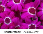 Small photo of Round Pink Magenta Flowers with White Inner Circle