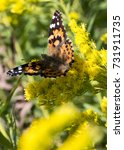 Small photo of An American Painted Lady butterfly lands on a bloom in a field of yellow flowers.