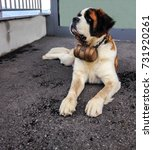 Small photo of St. Bernard dog with the iconic barrel. St. Bernard is a breed of very large working dog from the western Alps in France, Switzerland and Italy, originally were bred at St Bernard Pass for rescue.