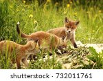 young red foxes playing near... | Shutterstock . vector #732011761