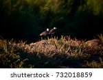 spur winged lapwing. vanellus... | Shutterstock . vector #732018859