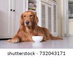 golden retriever to lie on the... | Shutterstock . vector #732043171