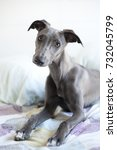 Blue Whippet In Bed