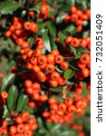 Small photo of Formosa firethorn 'Lowboy' showy reddish-orange berries.