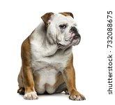 Small photo of English Bulldog sitting, isolated on white