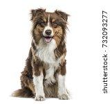 australian shepherd sitting and ... | Shutterstock . vector #732093277