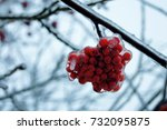 Winter Snow Berries. Rowan In...