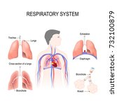 respiratory system  bronchiole... | Shutterstock .eps vector #732100879