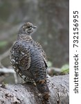 Small photo of Spruce grouse female posing on log in Algonquin Park
