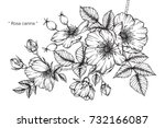 hand drawing and sketch rosa... | Shutterstock .eps vector #732166087