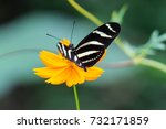 Small photo of Close-up on Zebra Longwing, Heliconius Charitonia, Butterfly - Costa Rica