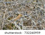 Thick Billed Weaver ...