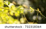 green branches of grapes in the ... | Shutterstock . vector #732318364
