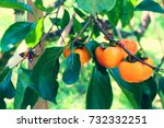 Persimmon Tree With Many...