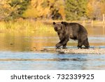 grizzly bear  ursus arctos   ... | Shutterstock . vector #732339925