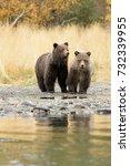 grizzly bear  ursus arctos   ... | Shutterstock . vector #732339955
