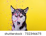 Small photo of funny cynical disagreeable Siberian husky breed dog on a yellow background under a hail of confetti, the end of dog emotions, humor, sarcasm