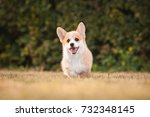 Stock photo welsh corgi pembroke puppy playing in the yard 732348145