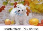 Stock photo maltese puppy 732420751