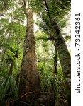 Tropical New Zealand Kauri...
