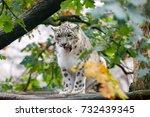 Very Beautiful Cat Snow Leopar...