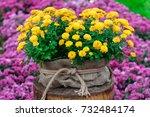 In A Pot Yellow Chrysanthemum...